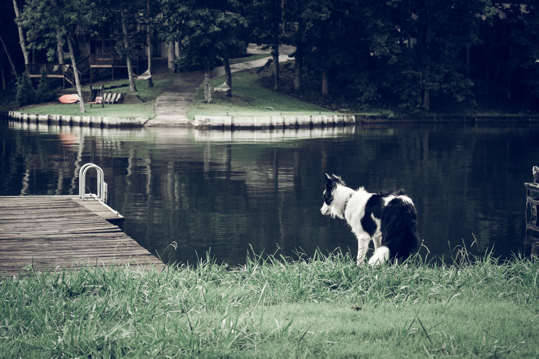 Free stock photo of dog, lake, rustic, outdoors