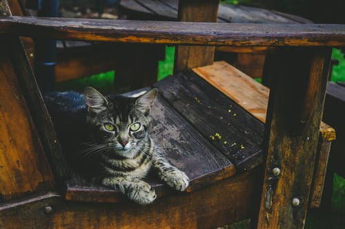 Silver Tabby Cat on Wooden Armchair