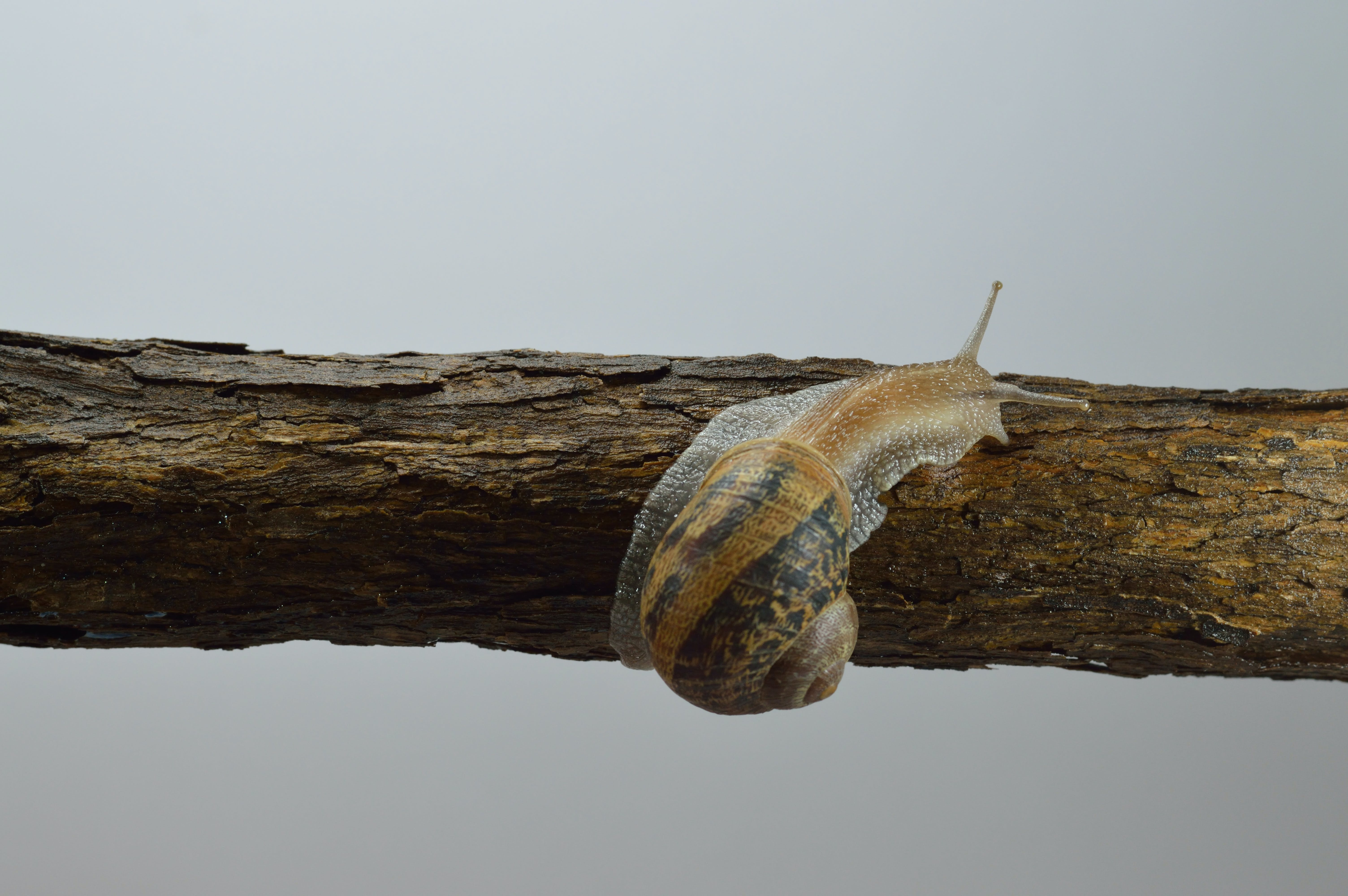 Brown and Gray Snail on Tree Branch