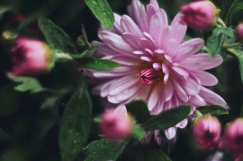 Foto d'estoc gratuïta de Crisantem, flors, flors morades