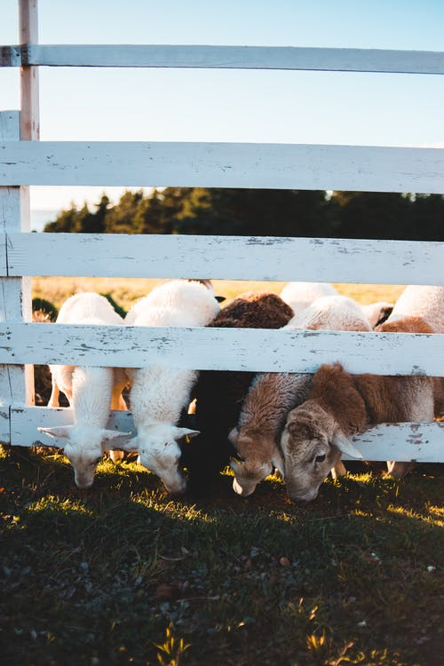 Domestic sheep pasturing in countryside