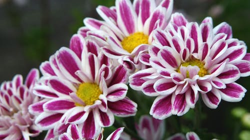 Purple-and-white Flowers
