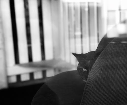 คลังภาพถ่ายฟรี ของ ขาวดำ, แมว