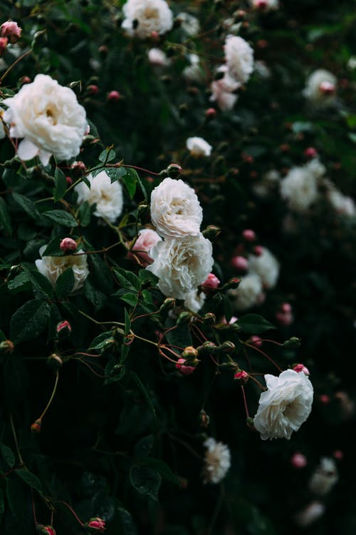 Delicate white roses growing on green bush with thin leaves in summer park