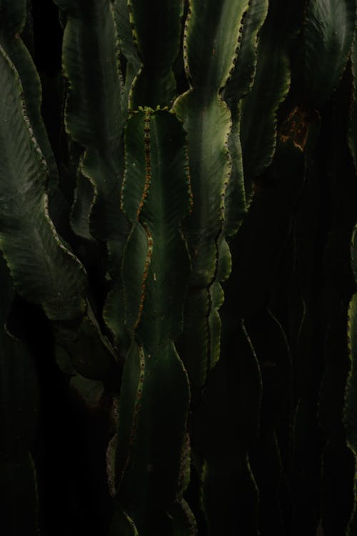 Tall cactuses growing in darkness