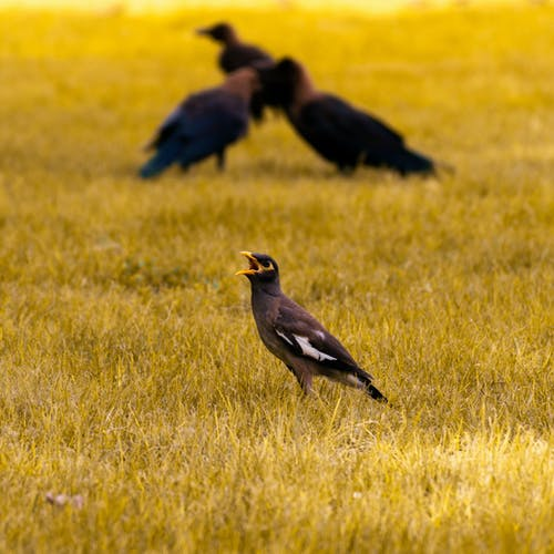 Common Myna Bird on Green Grass Field