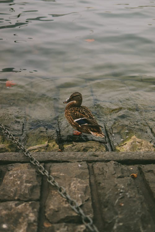 Wild duck standing on stone embankment near rippling water