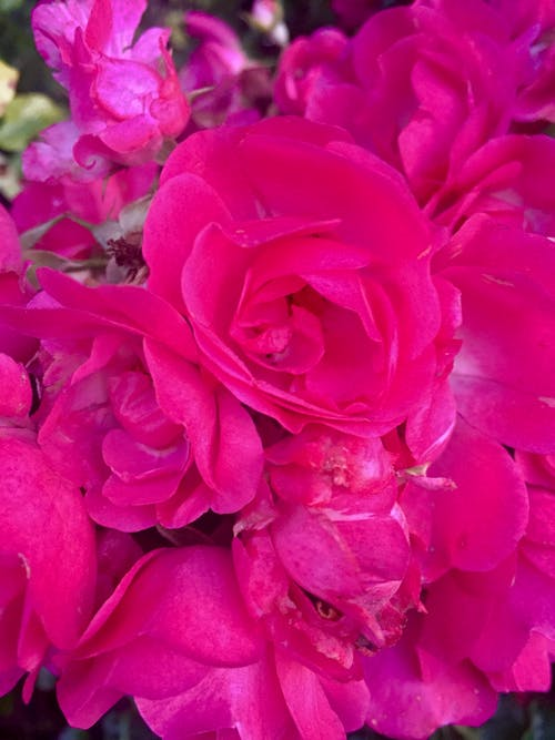 Free stock photo of pink roses, roses