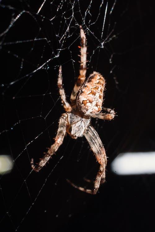 Fotos de stock gratuitas de arácnido, aracnofobia, araña, araña de jardín