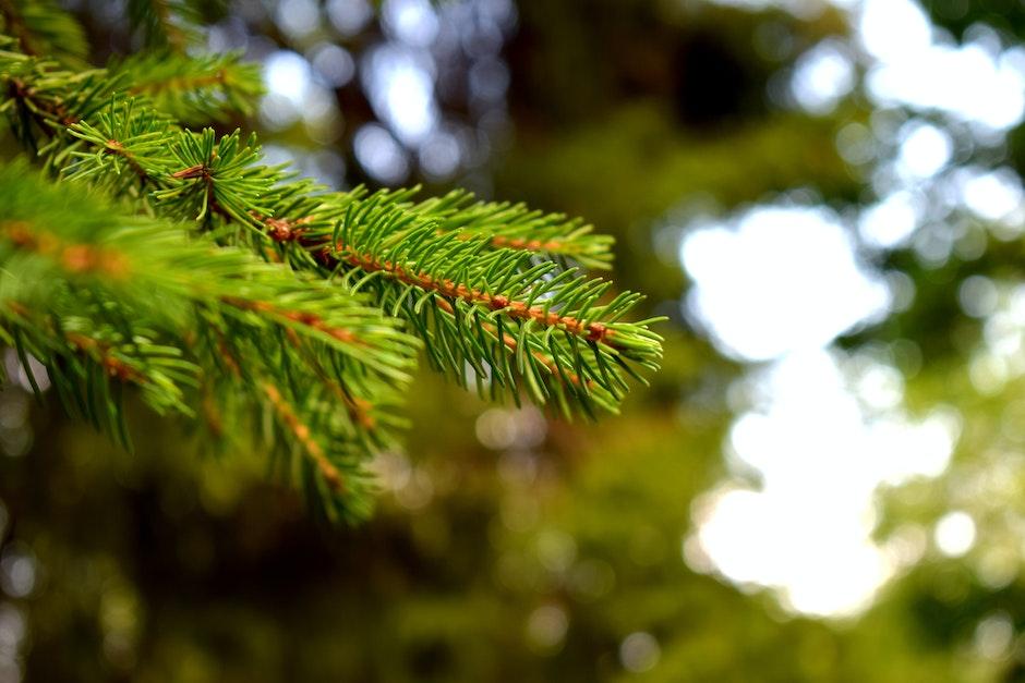 blur, close-up, coniferous