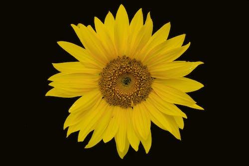 Free stock photo of flora, flower, garden flower