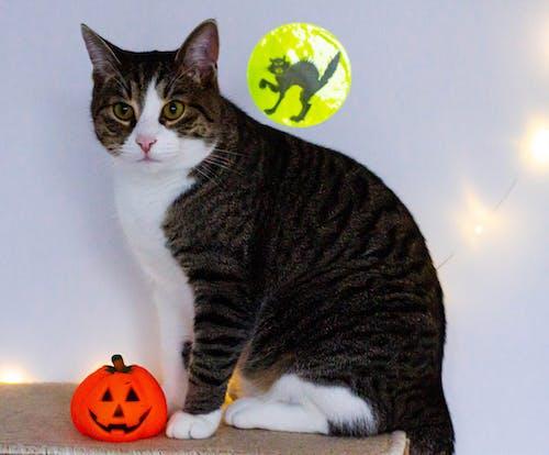 Free stock photo of animal, halloween decoration, pet, tabby