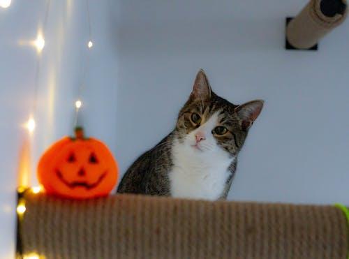 Free stock photo of cute animal, cute cat, happy halloween, kitten