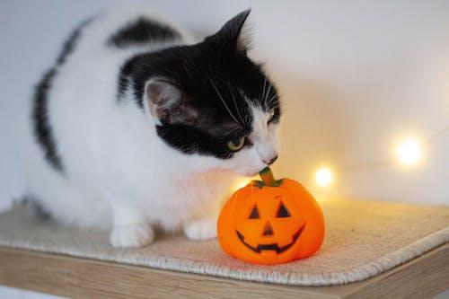 Free stock photo of animal, cute cat, halloween pumpkin, happy halloween