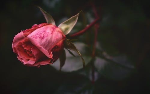 Kostnadsfri bild av blad, blomma, blommor, blomning