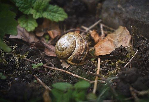 Kostnadsfri bild av blad, gastropod, hal, helix