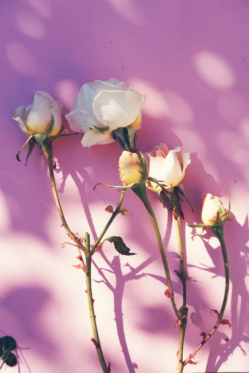 Roses In Pink Background
