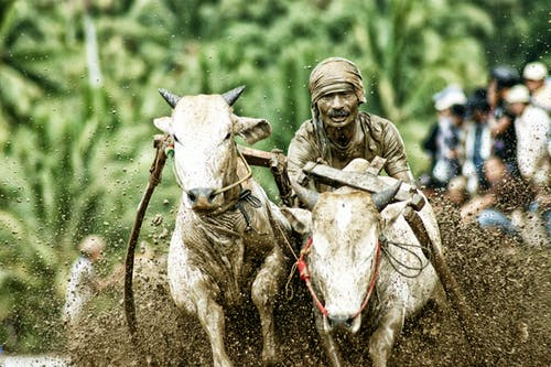 Man Riding On White Cows In Mud