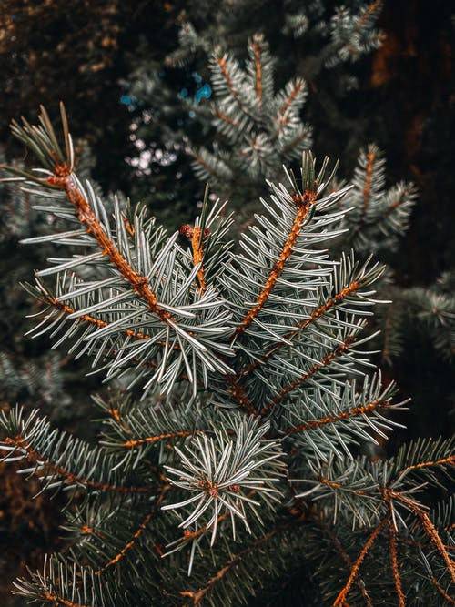 Closeup of branch of evergreen spruce tree with needles in daytime against blurred background