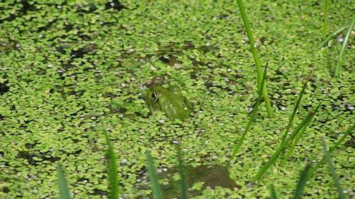 Free stock photo of frog, green, vegetation