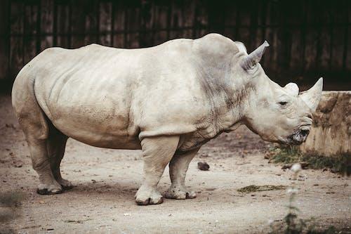 Rhinoceros on Brown Sand