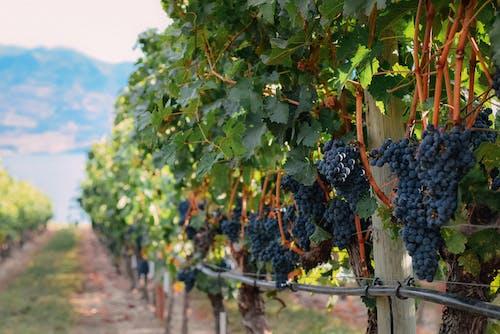 Grapes growing in vineyard in countryside