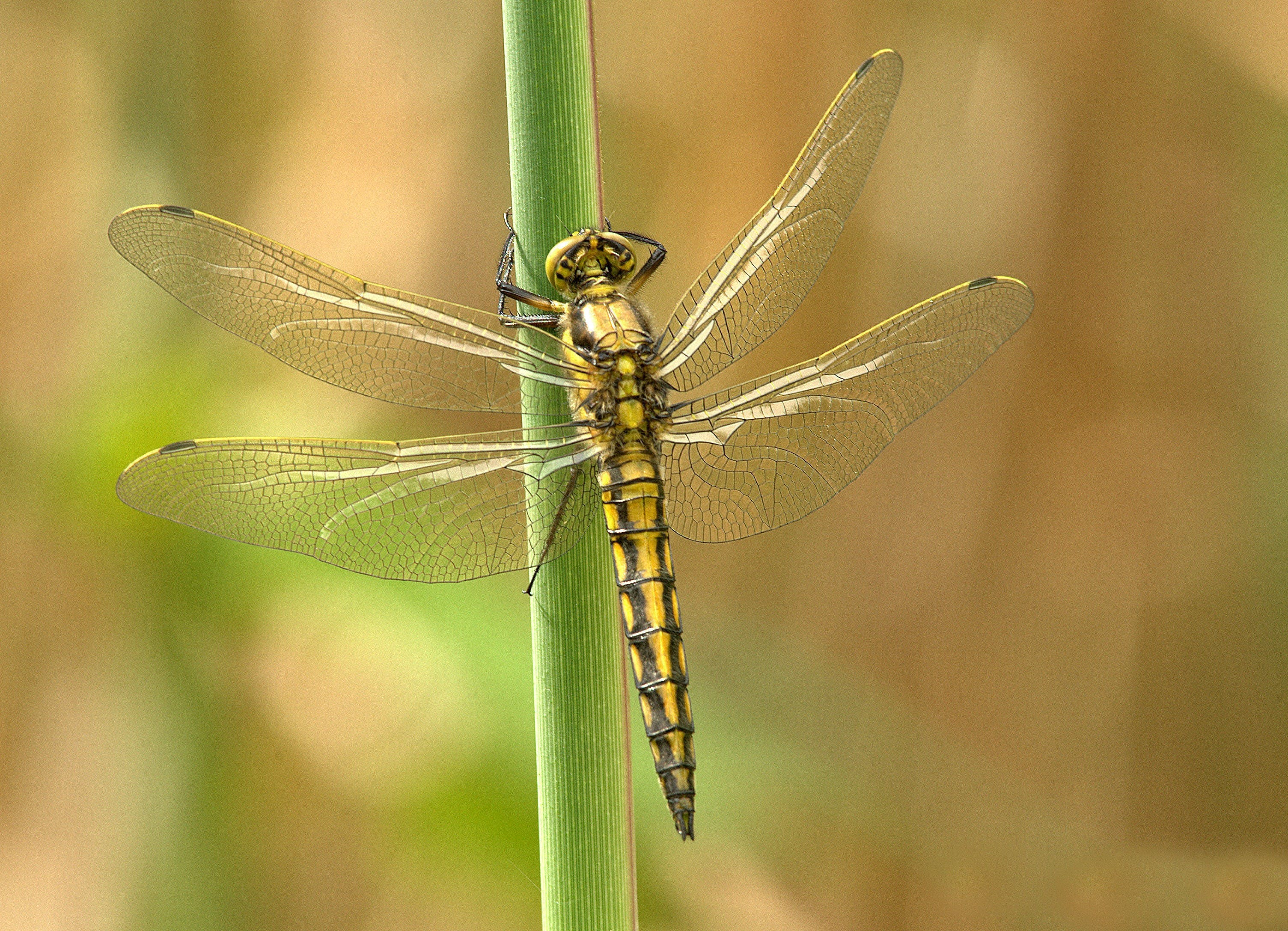 Yellow and Black Dragonfly on Green Stem during Daytime