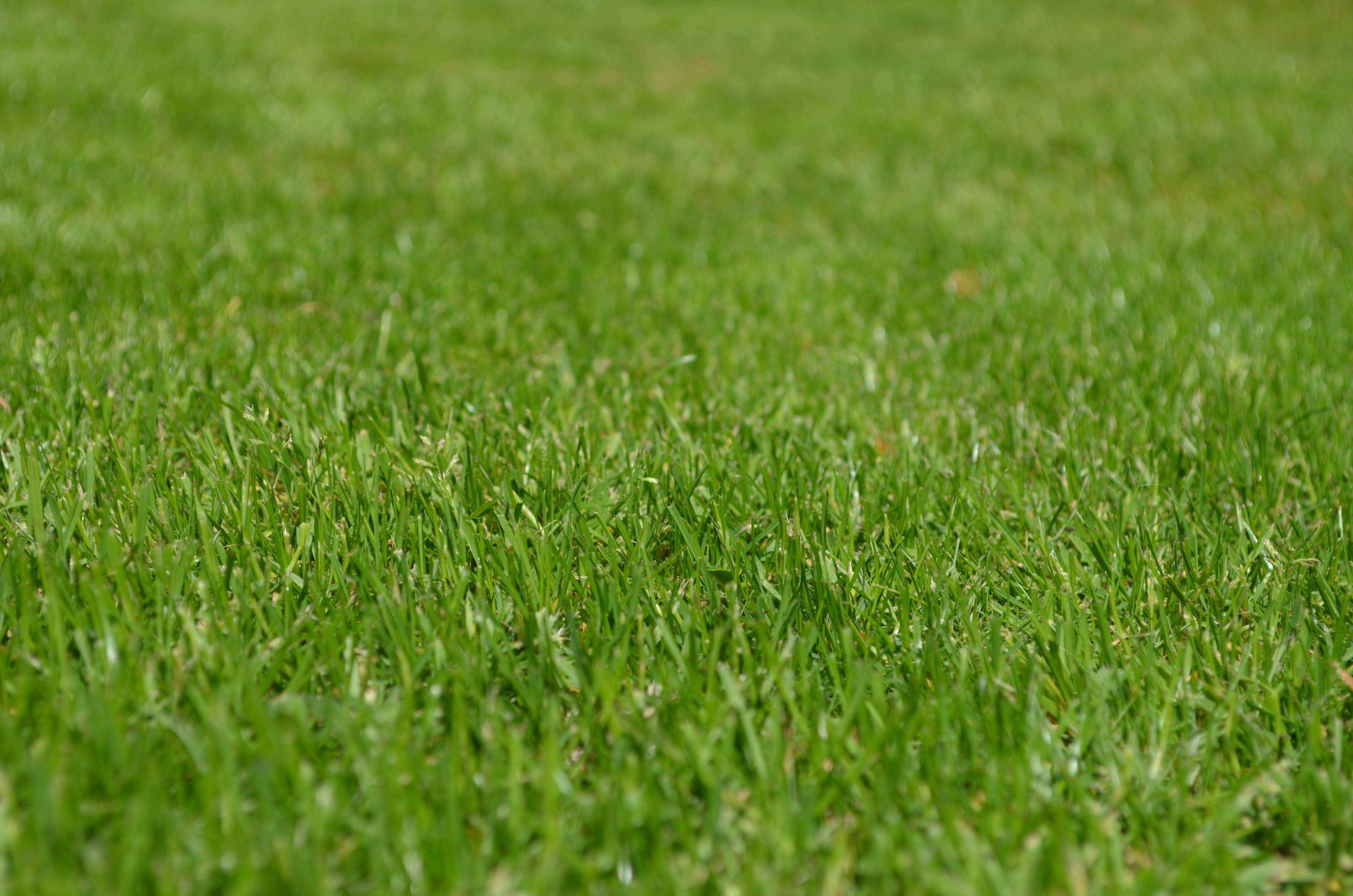 Gratis lagerfoto af græs, græsplæne, grøn, plante