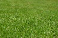 grass, lawn, plant
