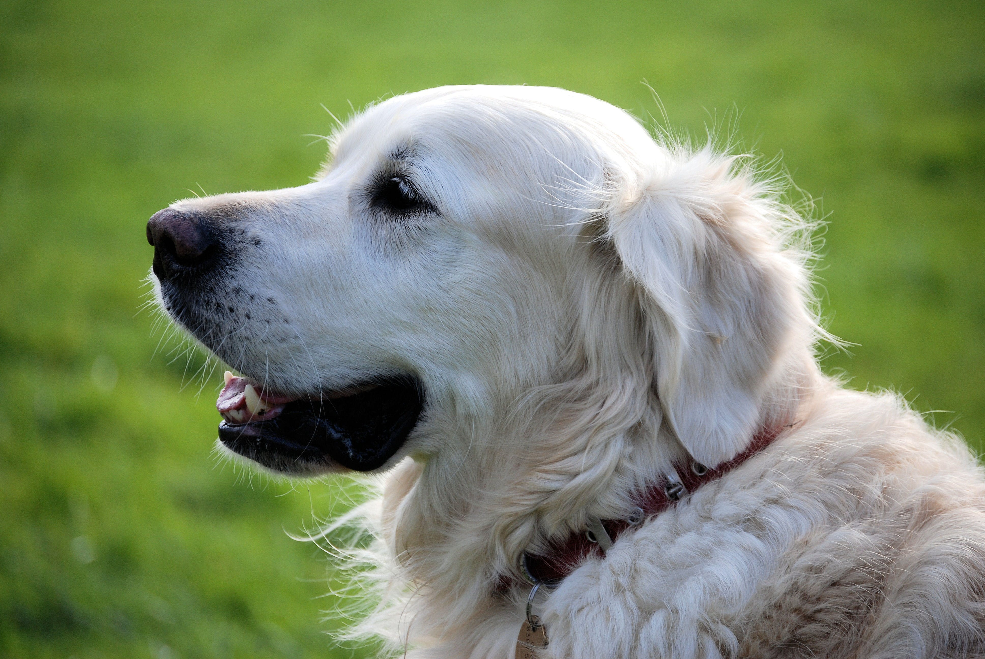 Golden Retriever Dog Wearing Red Collar