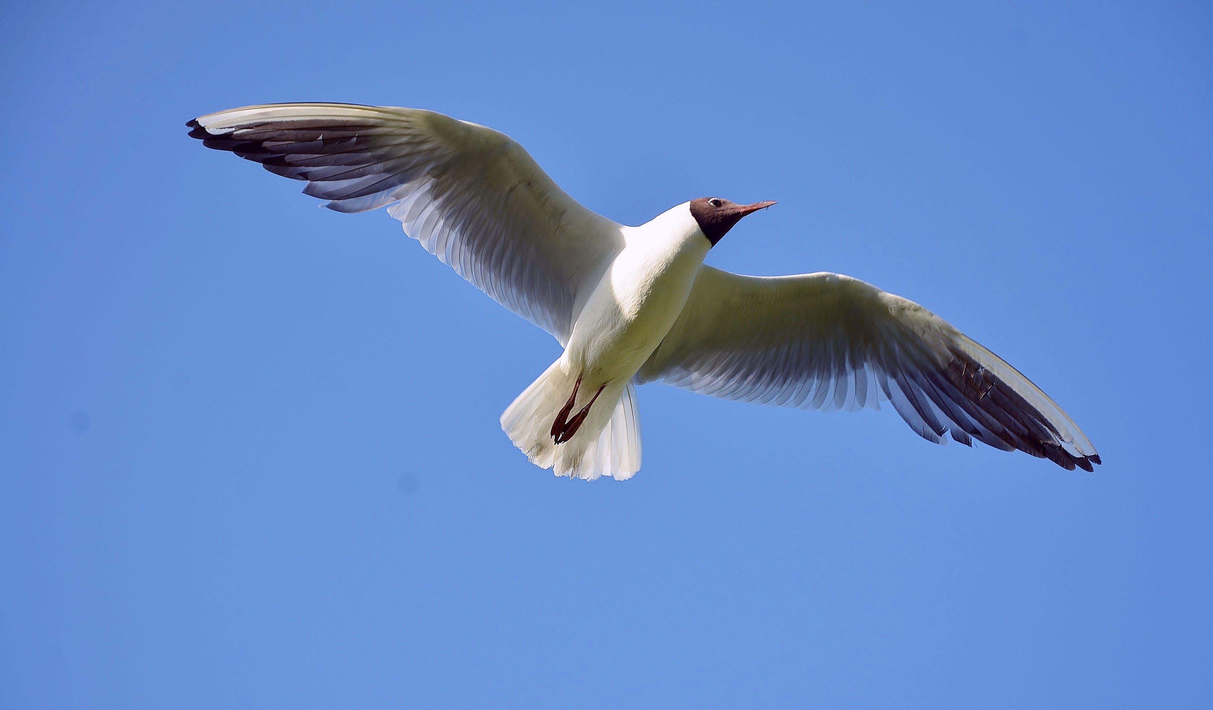 Kostenloses Stock Foto zu federn, fliegen, flügel, möwe