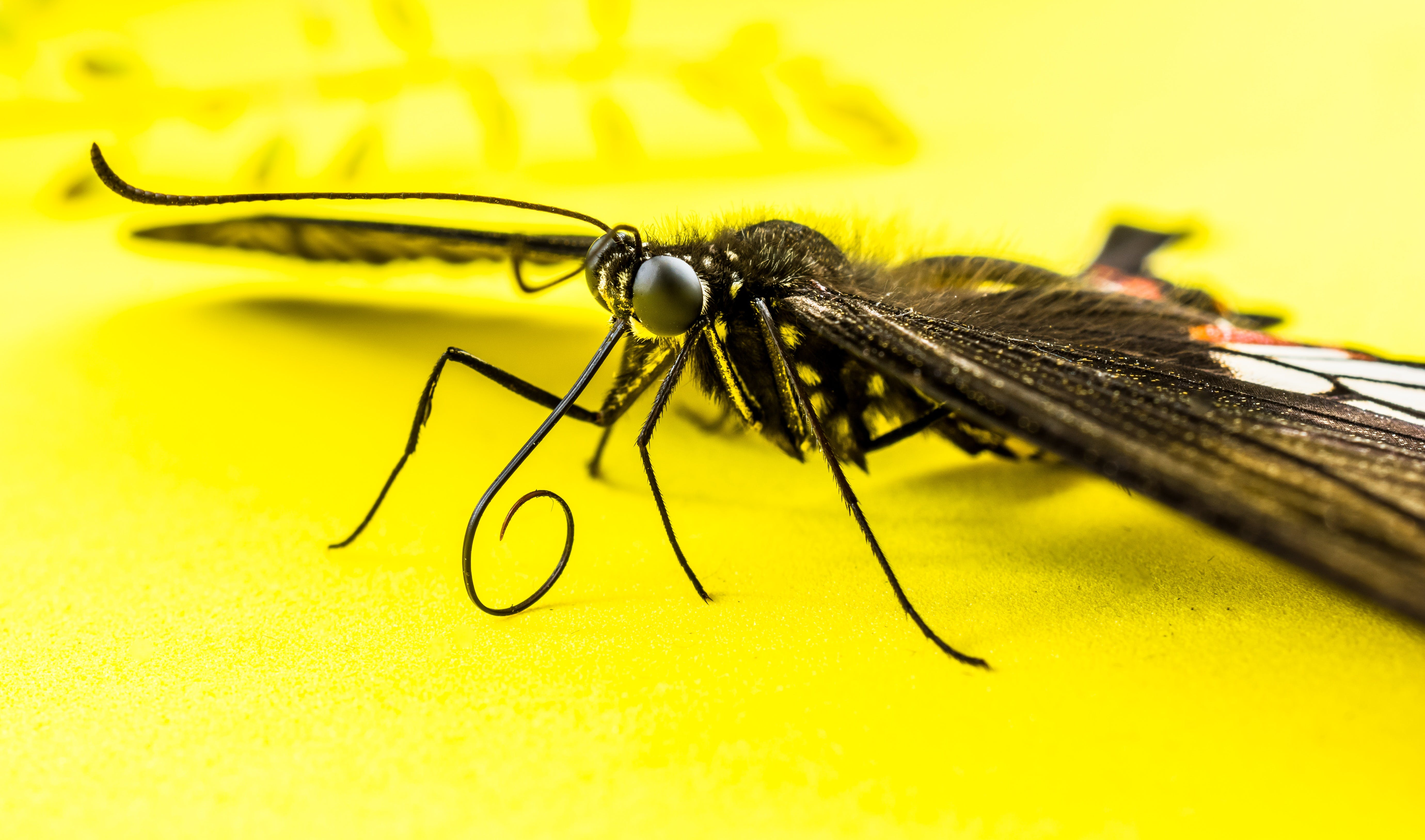 Closeup Shot of Black Butterfly on Yellow Surface