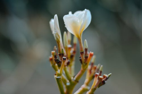 Closeup of white petals of blooming Plumeria alba and bud with water drops at daytime