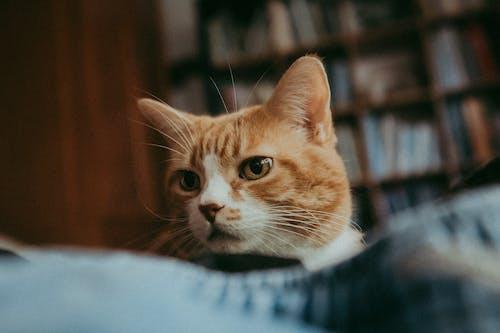 Orange Tabby Cat on Blue Textile