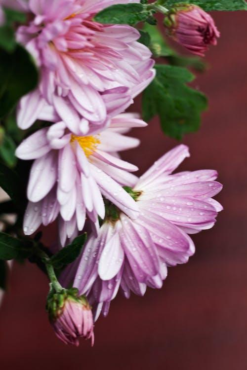 Photos gratuites de chrysanthème, fleurs