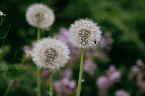 Tiny insect on fluffy dandelions in meadow