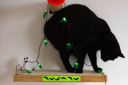 Free stock photo of adopt, animal, black cat, halloween