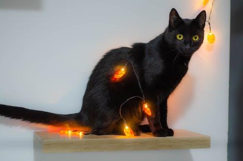 Free stock photo of animal, black cat, halloween, pet