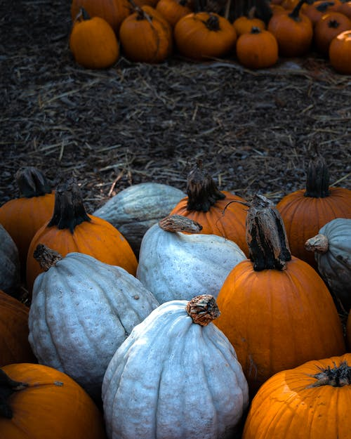 Pumpkins in farm for Halloween celebration
