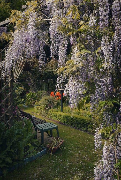 Kostnadsfri bild av blad, blåregn, blomma, botanisk