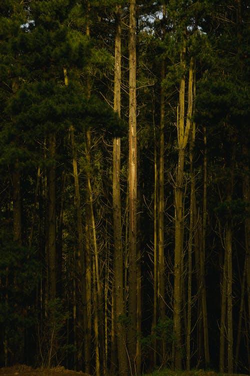 Photos gratuites de à feuilles persistantes, arbre, aube, automne