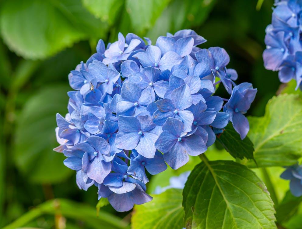 Blooming Hydrangea Flower