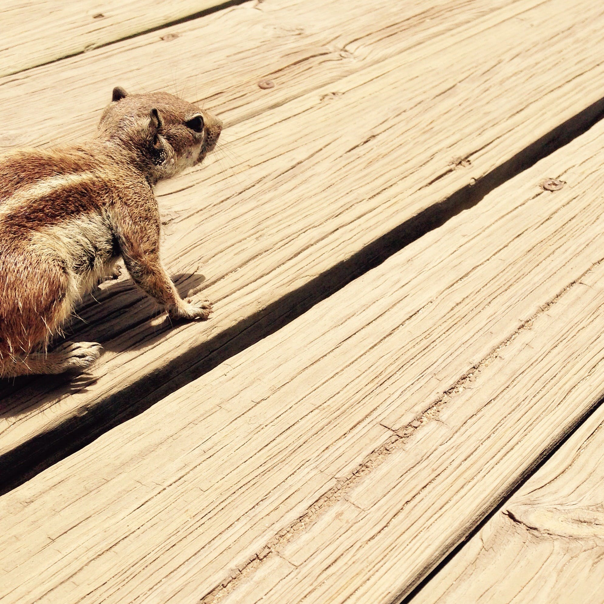 Brown Squirrel on Brown Wooden Surface