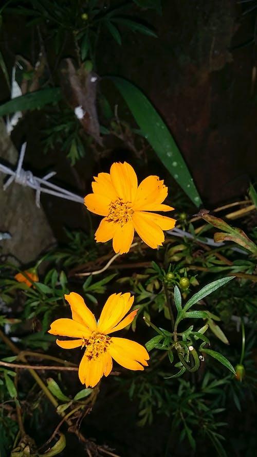Kostnadsfri bild av gul blomma