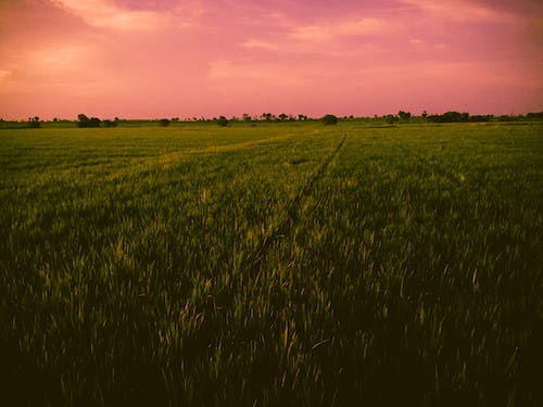 Free stock photo of crop, paddy, pinksky