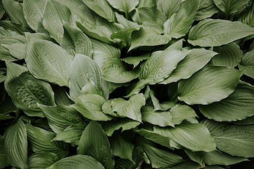 Fresh leaves of Hosta plant growing in garden