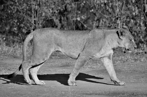 Grayscale Photo of Lioness on Road