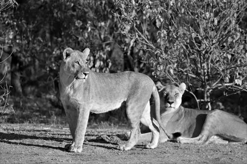 Grayscale Photo of 2 Lioness on Field