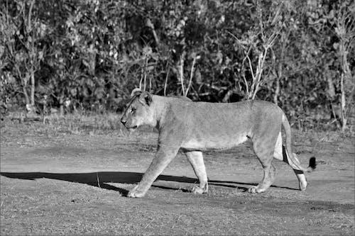 Lioness Walking on Field