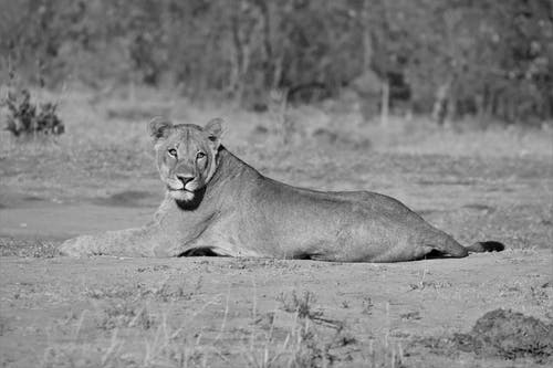 Grayscale Photo of Lioness Lying on Ground